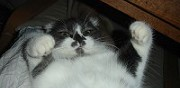 Vente chatte scottish fold adulte