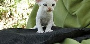 Vends chatons devon rex paris