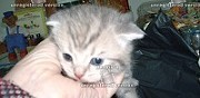 Vente chaton scottish fold