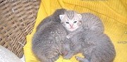 Vente chaton scottish  straight et scottish fold
