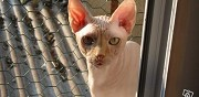 Propose saillie sphynx melun