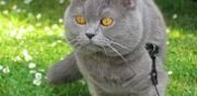 Propose m�le british shorthair bleu pour saillie troyes
