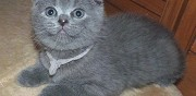 Vends chaton type scottish fold paris
