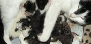 Donne 6 chatons rennes