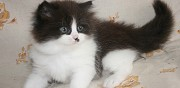 Vends chaton femelle british longhair colombes