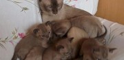 Chatons type burmese � vendre luigny