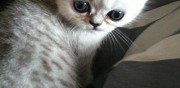 Chaton type exotic shorthair à vendre muret