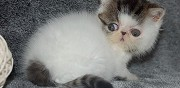 Chatons exotic shorthair loof marcillat en combraille