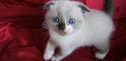 Chatons scottish fold inscrits au loof � vendre paris