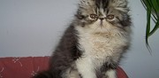 Chatons persans et exotic shorthair loof couiza