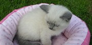 Adorables chatons british shorthair loof nice