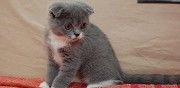 Adorables chatons sottish fold valfleury