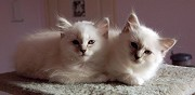 2 chatons seal tabby point sacr�s de birmanie loof ossages