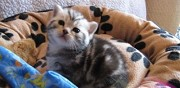 Adorable petit chaton british shorthair � donner la fert� sous jouarre