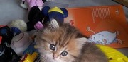 Disponible chaton british longhair chatillon le duc