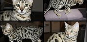 Chaton bengal brown et silver disponible marat