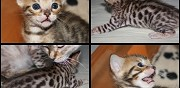 Chaton bengal brown et snow loof marat