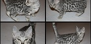 Chaton bengal sliver loof disponible de suite marat