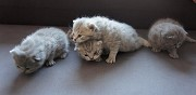 Vends 4 chatons british shorthair loof le cr�s