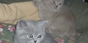Vends chatons british shorthair colombes