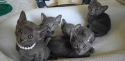 Chatons korat � r�server saint paul les dax