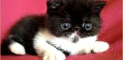 Chaton exotic shorthair persan poils courts nice