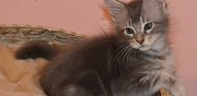 Chatons maine coon  donner barsac