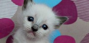 Adorables chatons ragdoll sournia