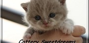 Chaton british shorthair � r�server thionville