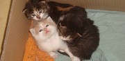 Adorables chatons � adopter fors