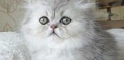 Vends chaton femelle persane silver shaded loof esvres