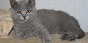 Vends chaton british shorthair bleu pamiers