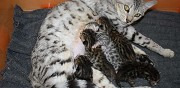 Chaton bengal brown loof disponible septembre marat