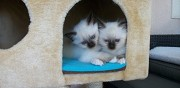 A c�der chaton sacre de birmanie paris