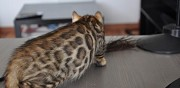 Chatons bengal loof � vendre toulouse