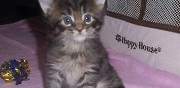 Sublimes chatons maine coon nancy
