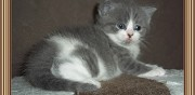 Chaton british shorthair loof m�ru