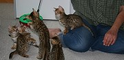 Adorables chatons bengal loof � r�server paris