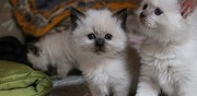 Magnifiques chatons d'apparence ragdoll non loof clermont ferrand