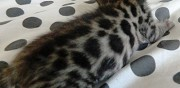 Magnifiques chatons bengal loof � vendre toulouse