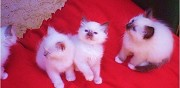 Chatons type sacr� de birmanie � adopter vitrolles
