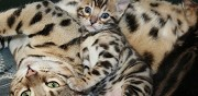 Magnifiques chatons bengal � adopter nantes