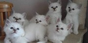 Chatons sacr� de birmanie � l'adoption bordeaux