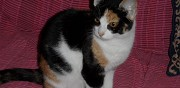Chaton tricolore pour adoption guebwiller