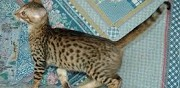 Vends chaton bengal  paris
