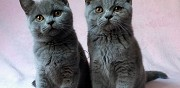 Vends chatons british shorthair autun