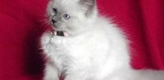 Vends chaton ragdoll pure race fenneviller
