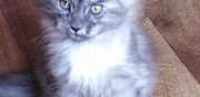 Vends adorables chatons maine coon loof ezanville