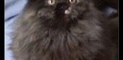 Vends chaton british longhair loof orl�at