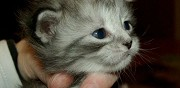 Vends chaton maine coon black silver tabby outcross m�le mauressac